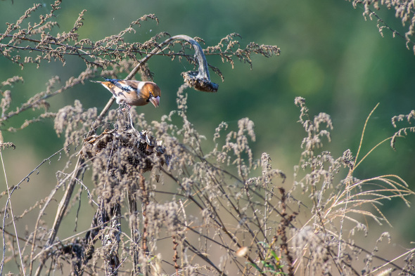 Coccothraustes coccothraustes - frosone - hawfinch
