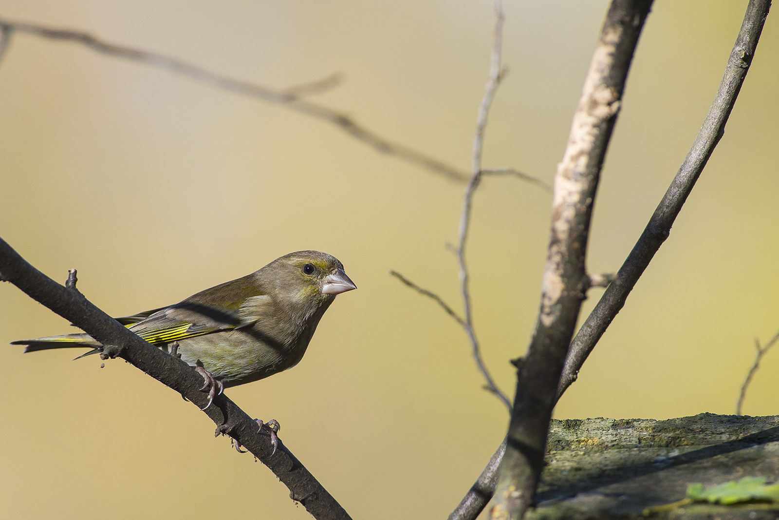 chloris chloris – verdone – greenfinch