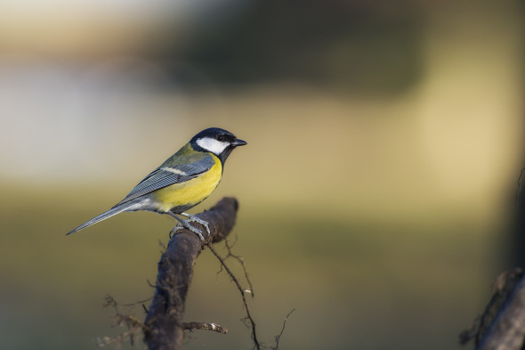 Parus major - cinciallegra