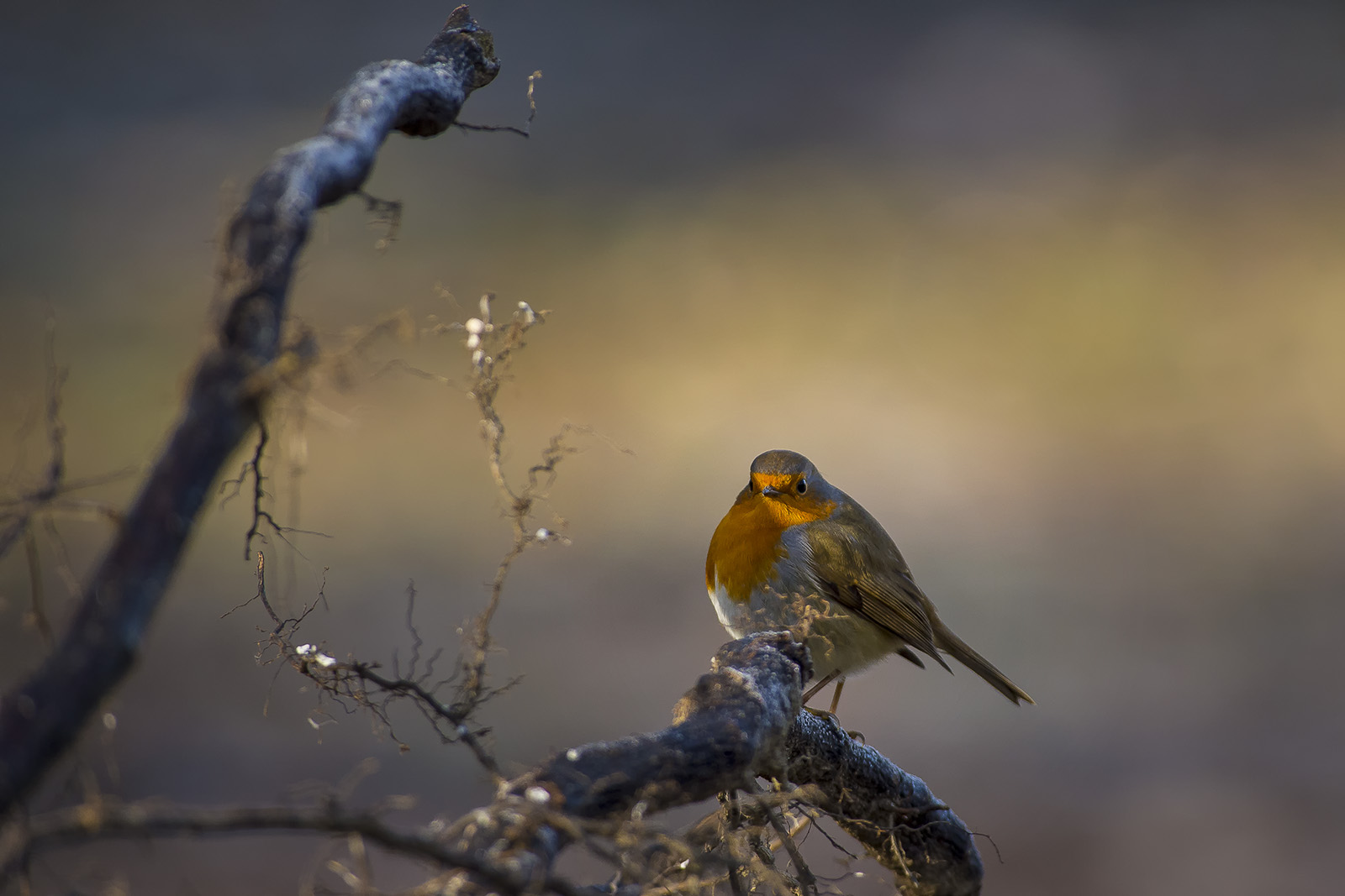 Erithacus rubecula – Robin in the magic forest