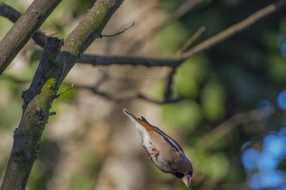 Frosone - Coccothraustes coccothraustes - Hawfinch