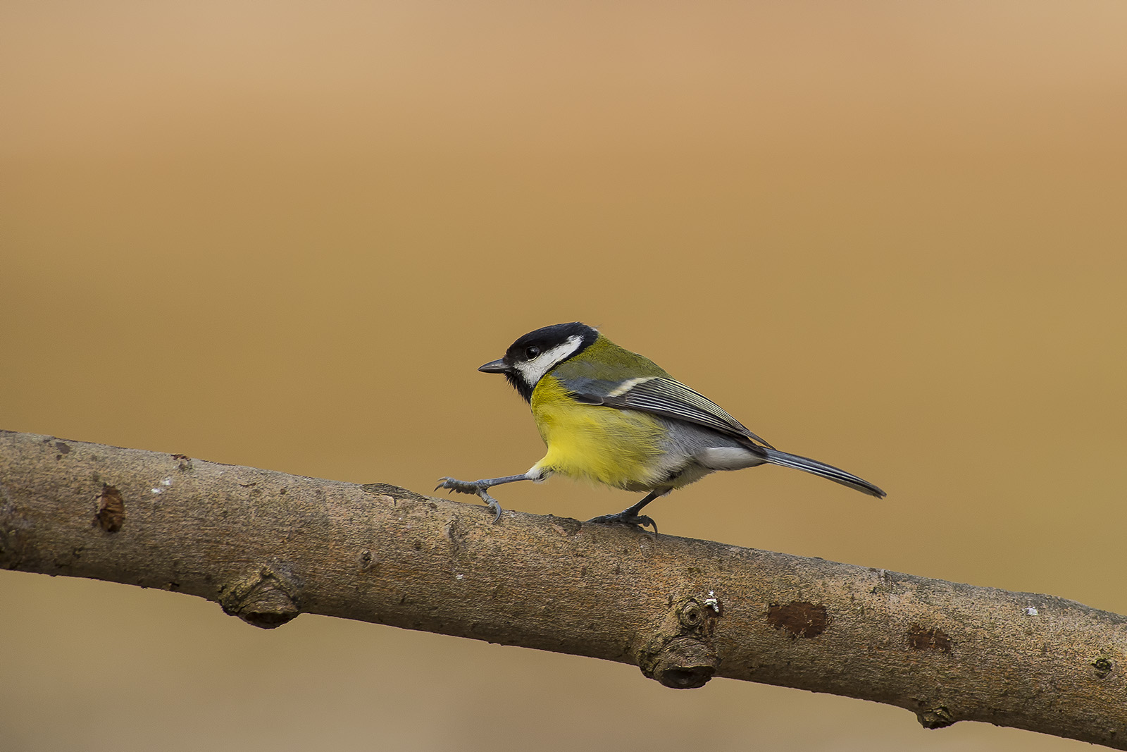 Parus major – cinciallegra