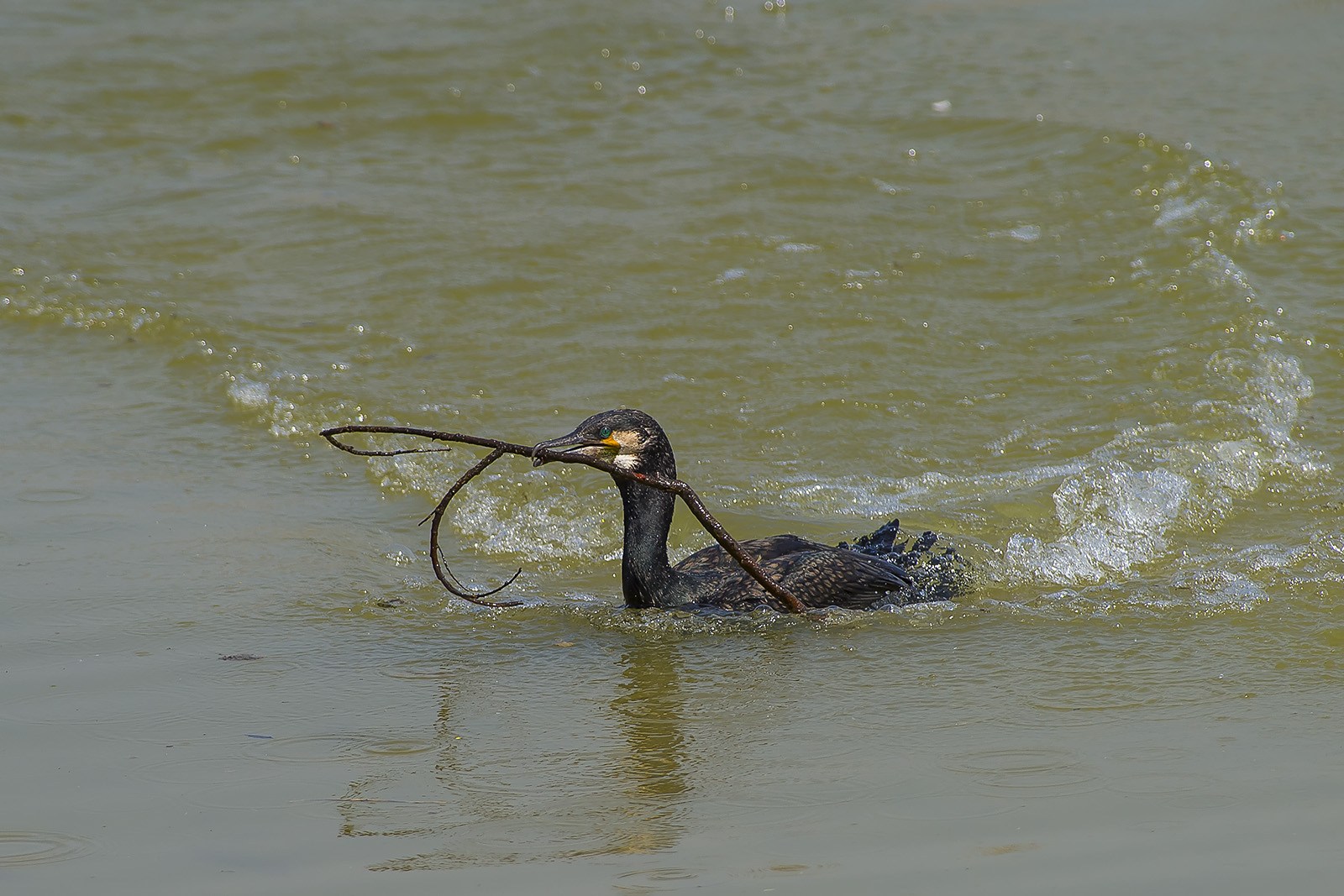 Phalacrocorax carbo – cormorano