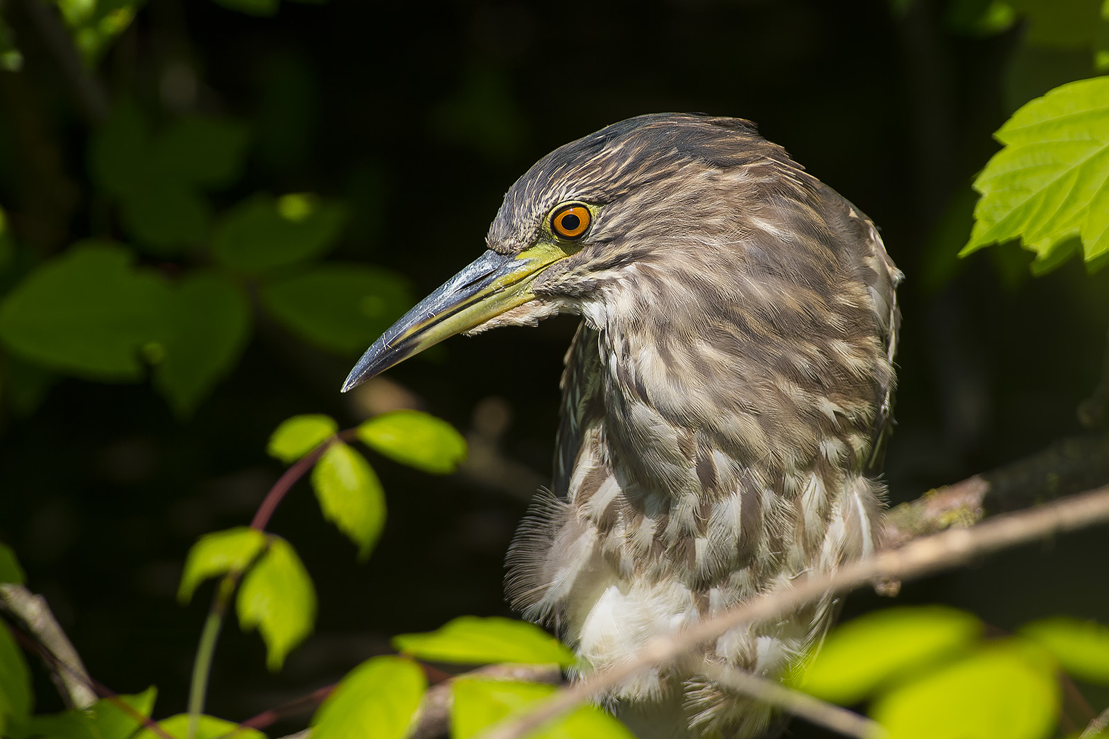 Nycticorax nycticorax juv. – giovane di Nitticora – black-crowned night heron
