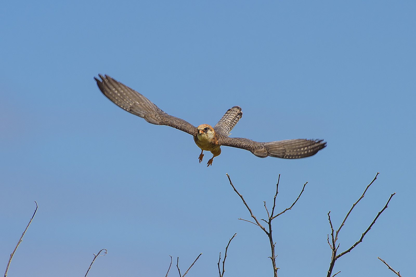 Io volo: Falco vespertinus – Falco cuculo – red-footed falcon