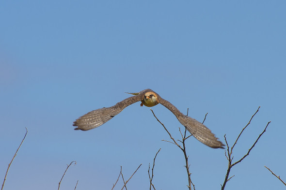 Io volo: Falco vespertinus - Falco cuculo - red-footed falcon