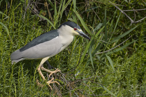 Nycticorax nycticorax - Nitticora - black-crowned night heron - Ardeidi