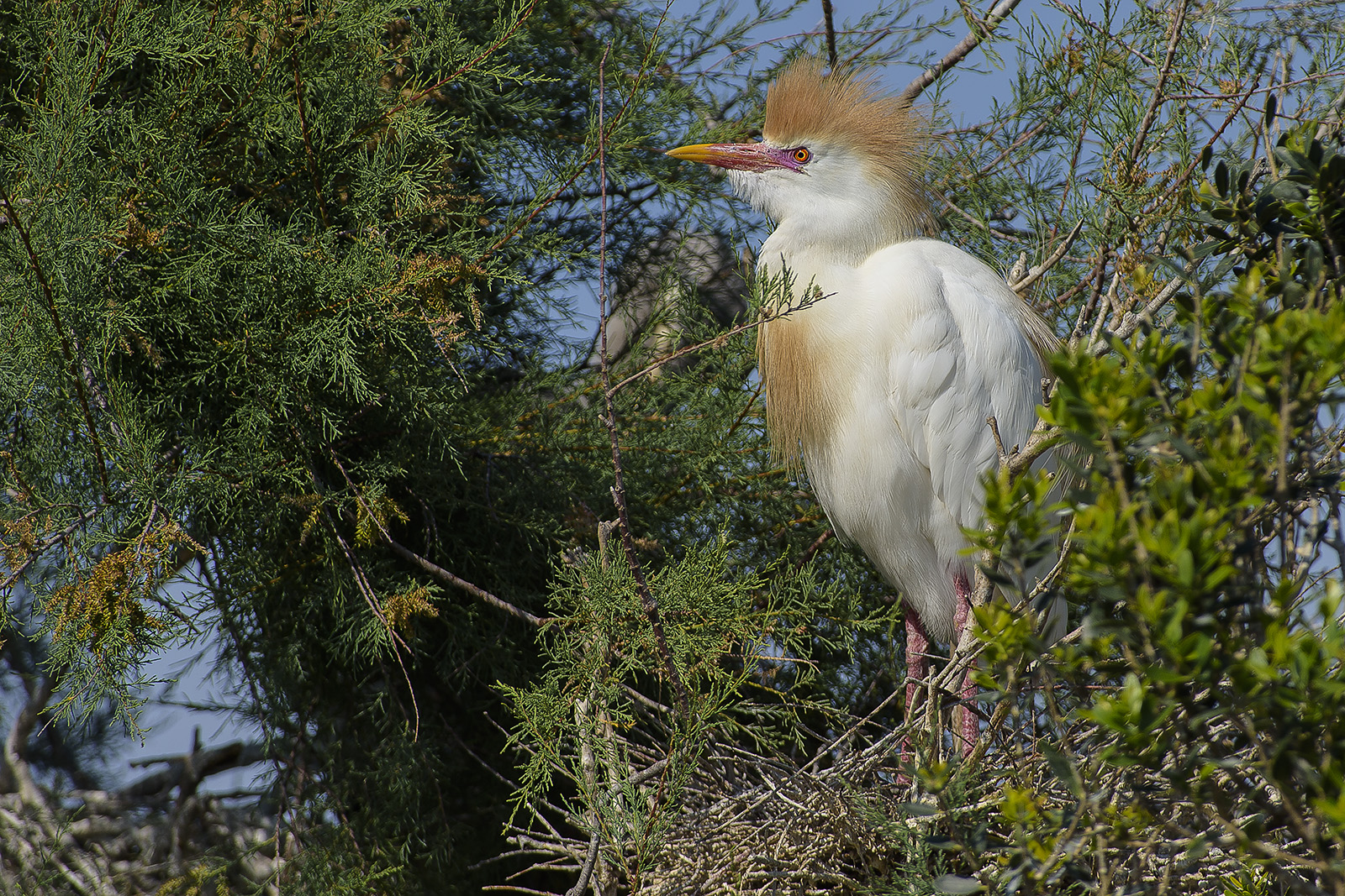 Bubulcus ibis – Airone guardabuoi – cattle egret