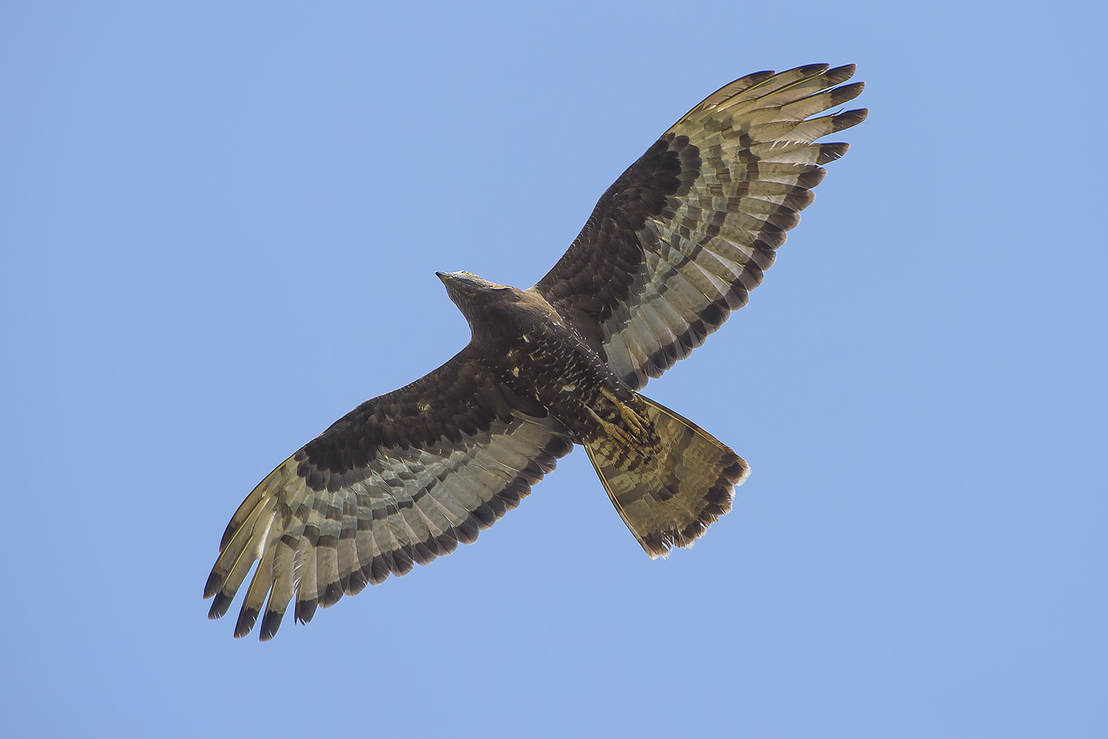 Pernis apivorus – falco pecchiaiolo – honey buzzard