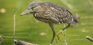 Nycticorax nycticorax - Nitticora - black-crowned night heron