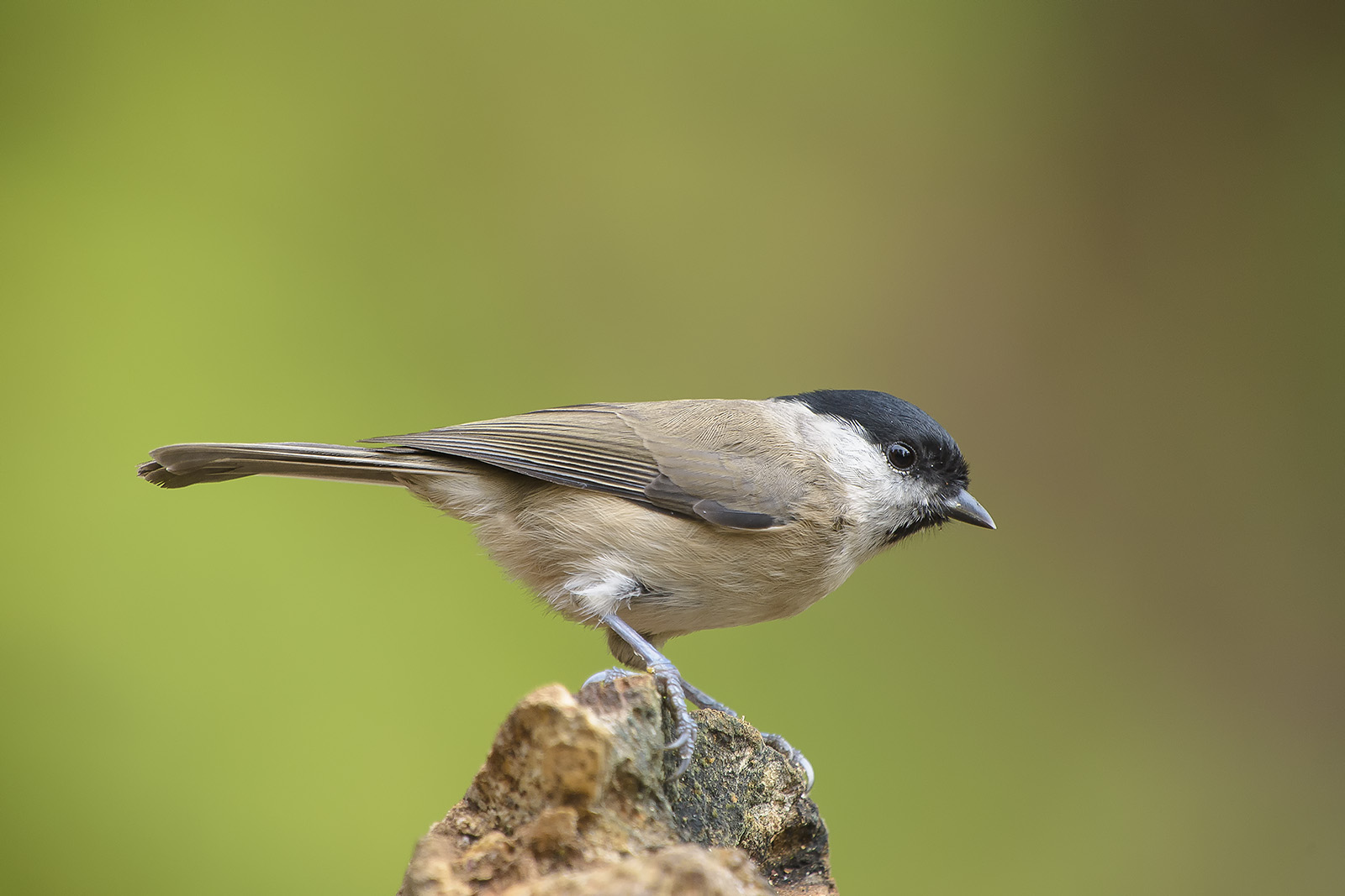 Poecile palustris – cincia bigia – marsh tit