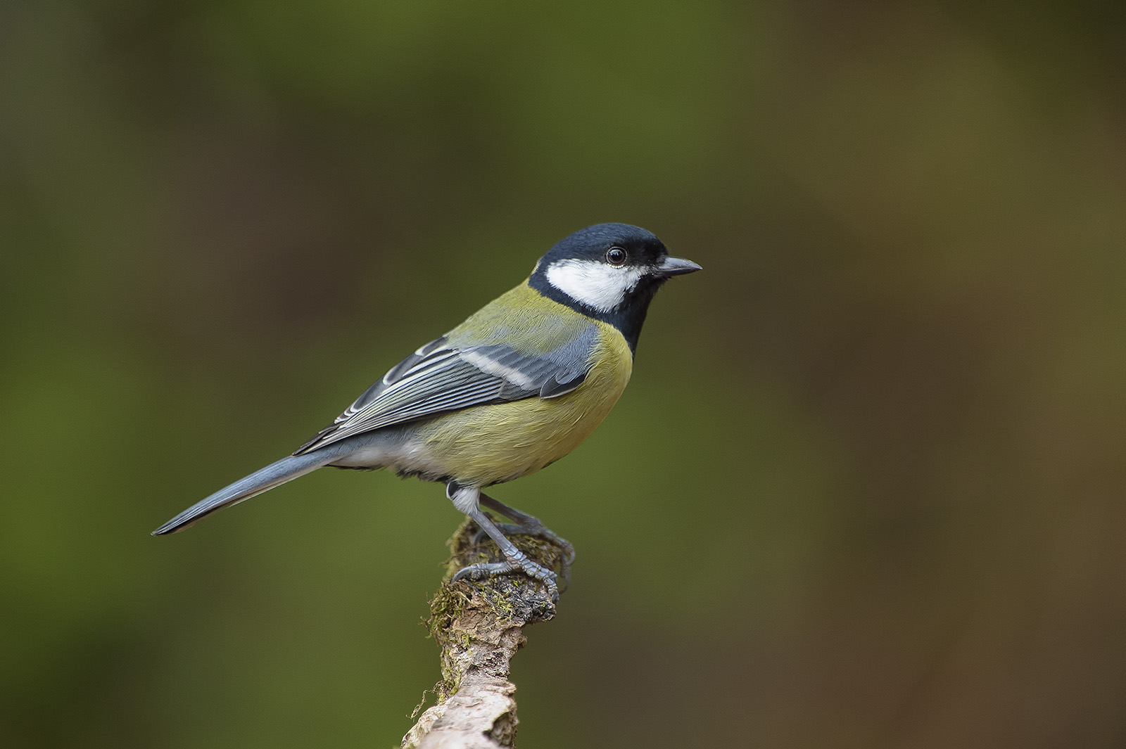 Cinciallegra – Parus major – Great tit