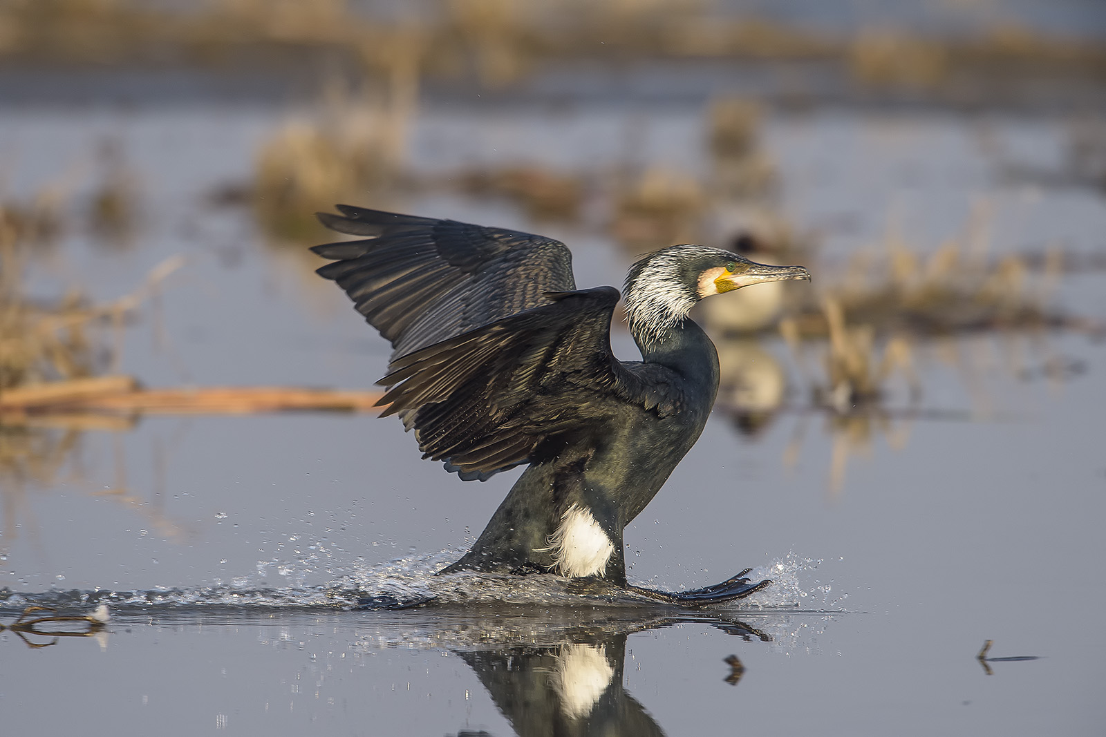 Phalacrocorax carbo – cormorano – great black cormorant