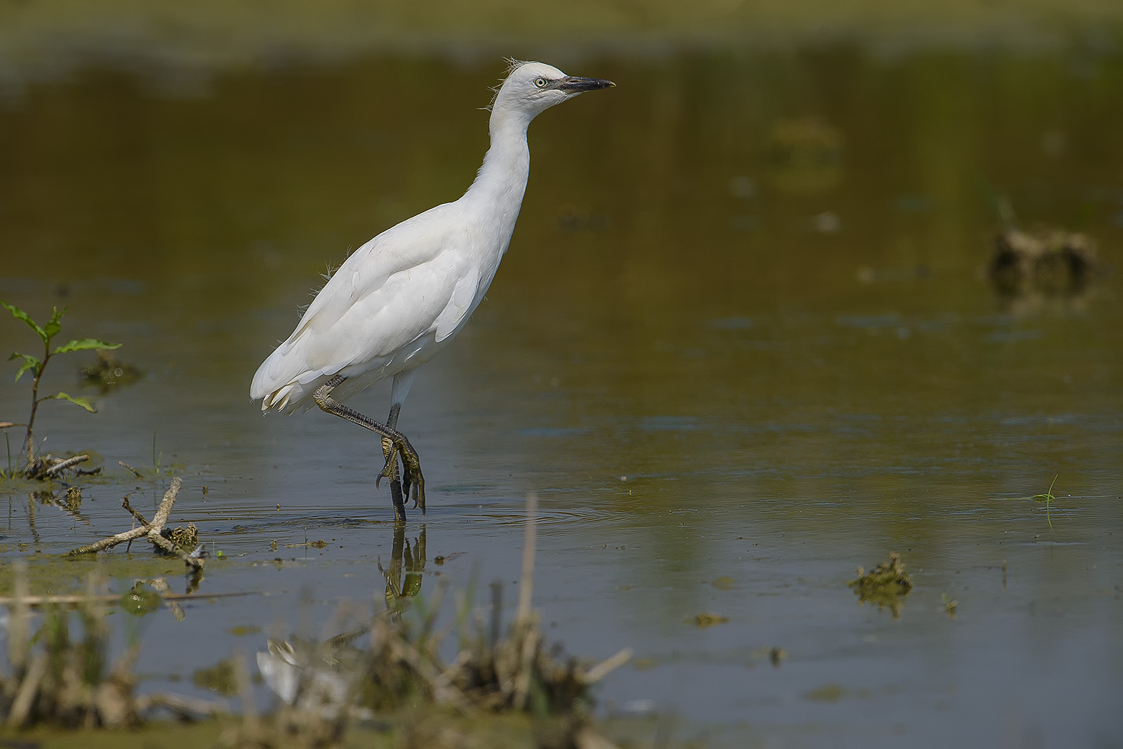 juv. Bubulcus ibis – airone guardabuoi – cattle egret