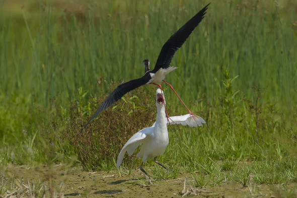 juv. Bubulcus ibis - airone guardabuoi - cattle egret