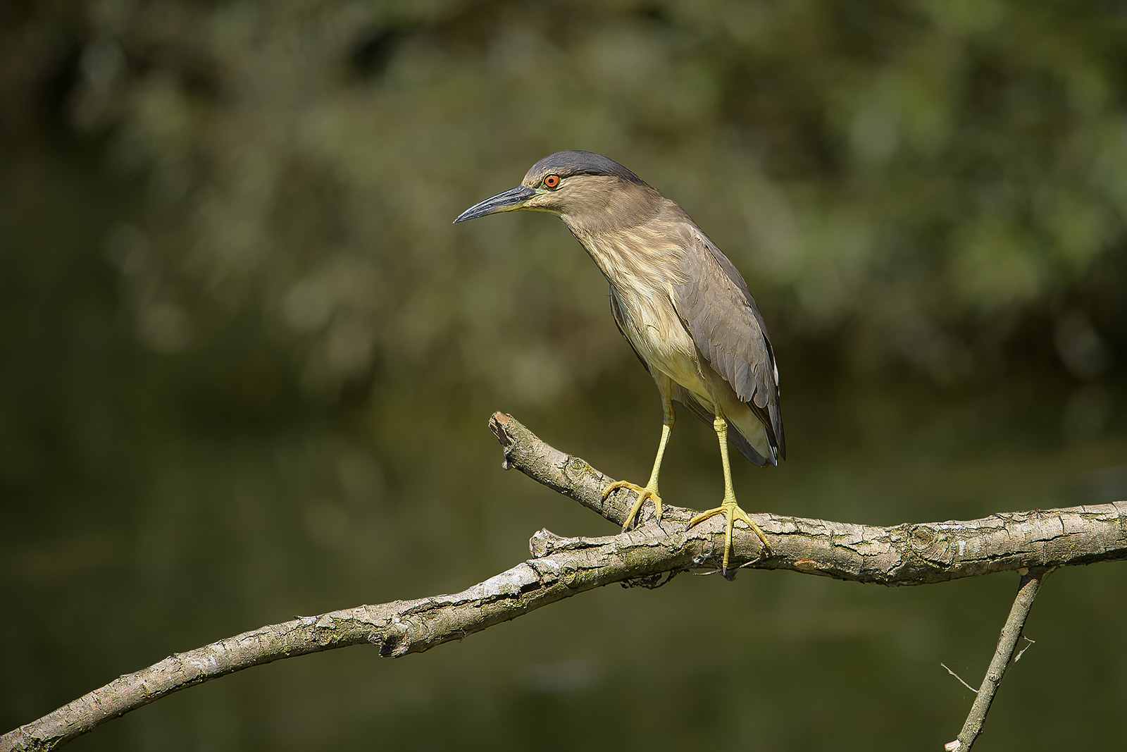 Nycticorax nycticorax – Nitticora – black-crowned night heron