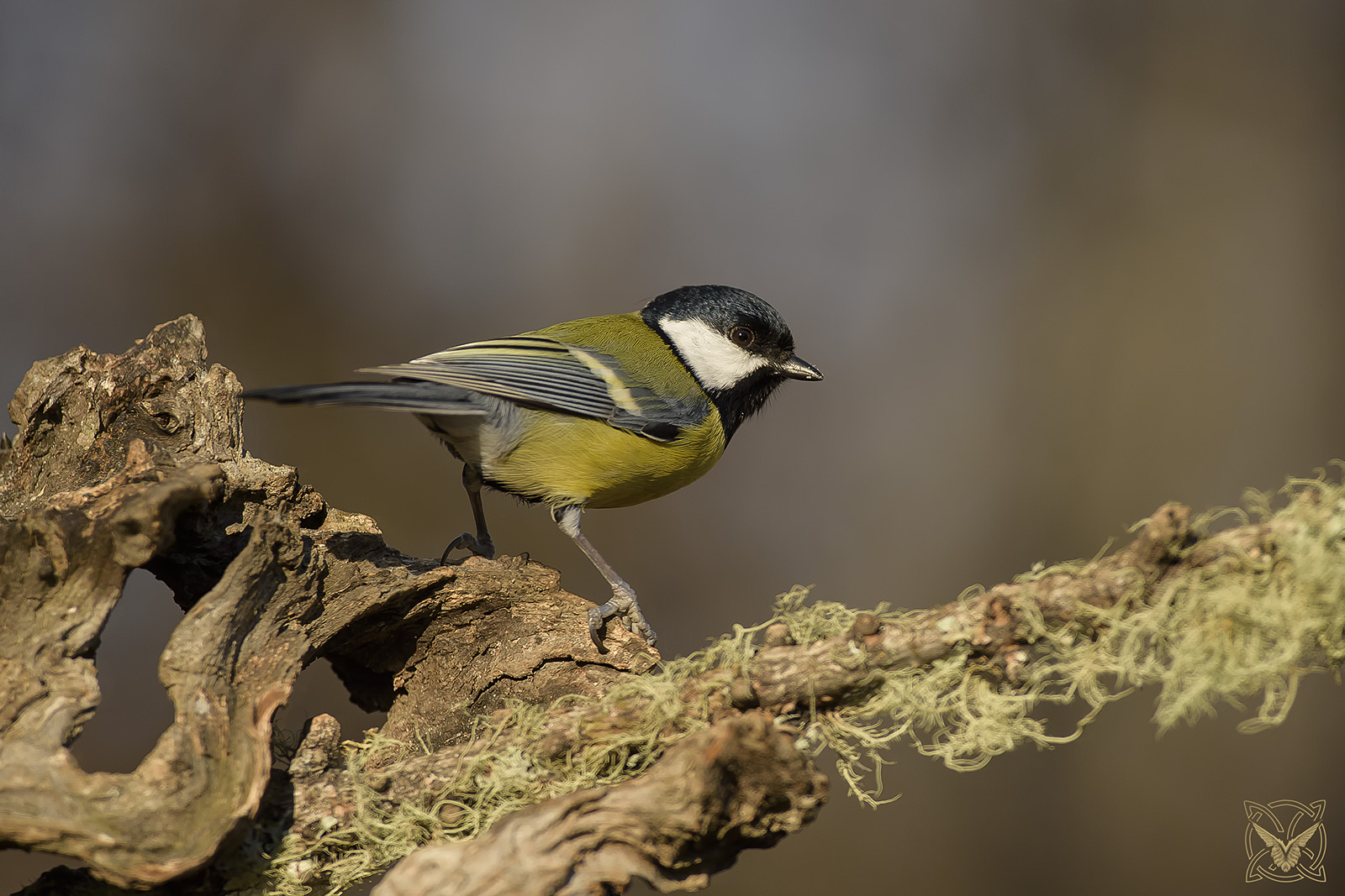 Parus major – cinciallegra – Mésange charbonnière – great tit