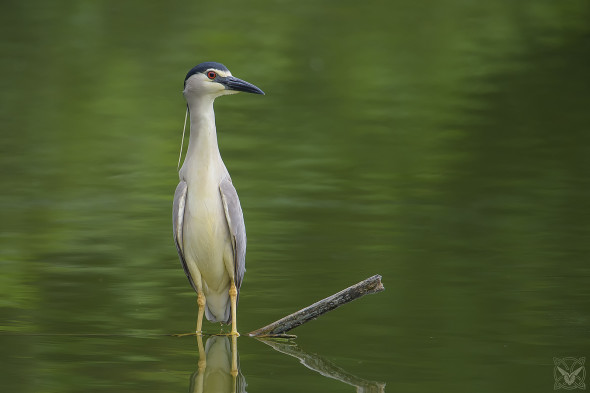Wilderness Photos, Nycticorax nycticorax, Nitticora, black-crowned night heron, Bihoreau gris