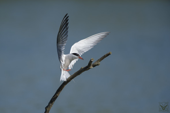 Wilderness Photos, Sterna hirundo, sterna comune, Sterne pierregarin, common tern