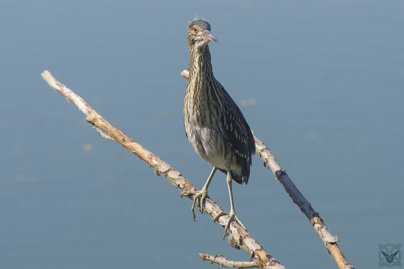 Nycticorax nycticorax, Nitticora, black-crowned night heron, Bihoreau gris