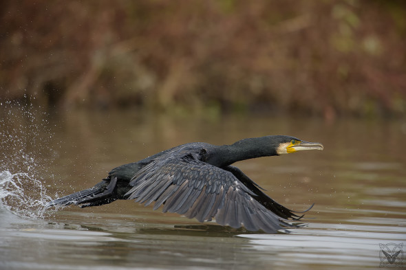 Phalacrocorax carbo, cormorano, great black cormorant